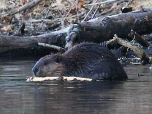 Lives of Beavers @ Sudbury Valley Trustees | Sudbury | Massachusetts | United States