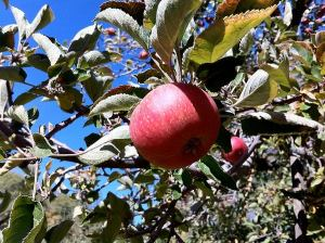 Apple Picking Shabbat Service @ Heard Farm