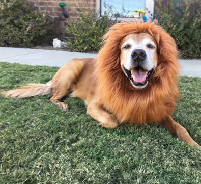 Golden Retriever dog in a lions mane costume for halloween