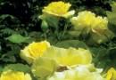 JUNE IS FOR ROSES – Green-Thumb Gardener