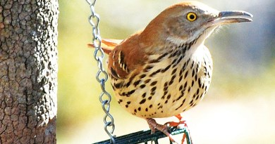 MIMIC THRUSHES HAVE DISAPPEARED – Life In The Outdoors