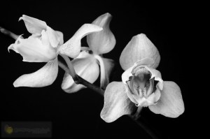 Orchid-134
