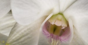 Orchid-58