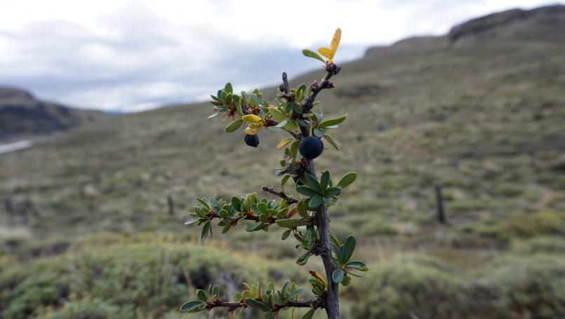 Calafate bush