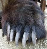 bear_paw