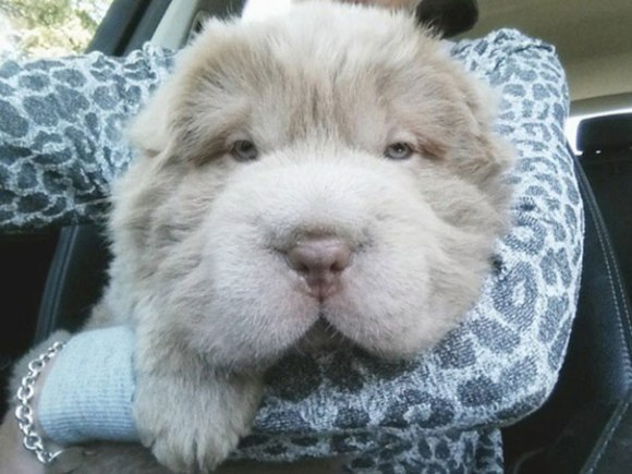 cute-bear-lookalike-dog-tonkey-17