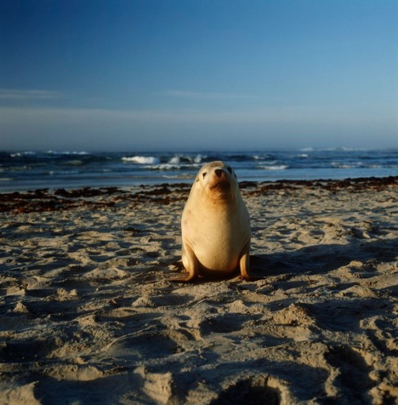 Australia, Kangaroo Island, Australian sea lion (Neophoca cinerea) on beach