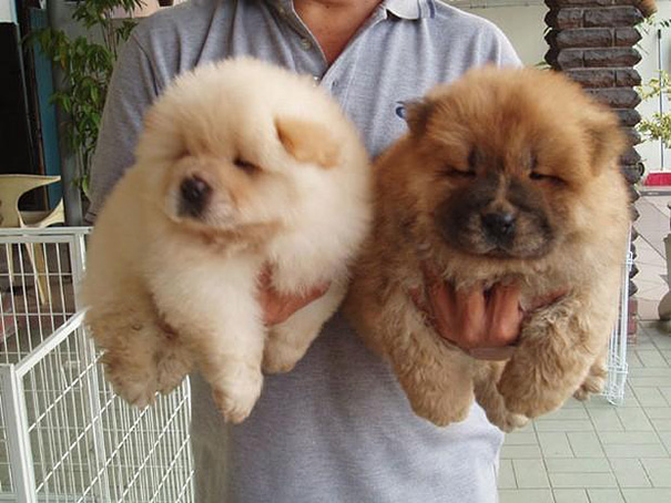 Dogs that look like Bear Cubs (15 Photos)