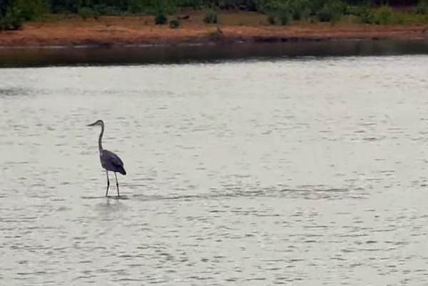 a99586_Hippo-aided-heron-glides-across-the-water