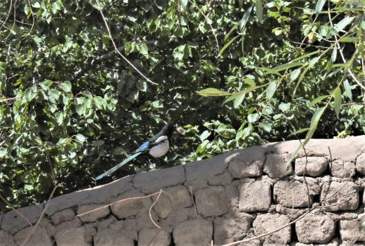 eurasian magpie in leh