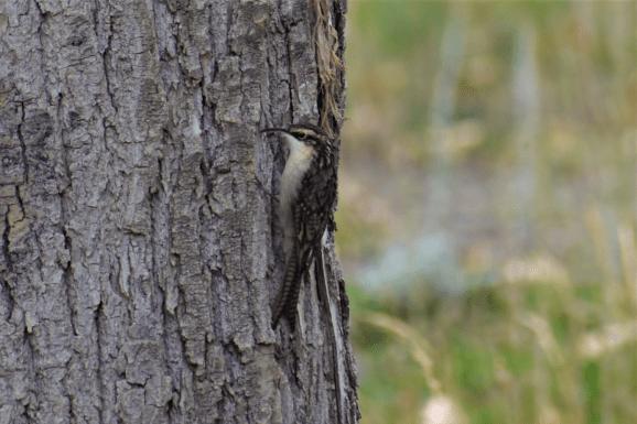 treecreeper bird india sissu lahaul himachal pradesh