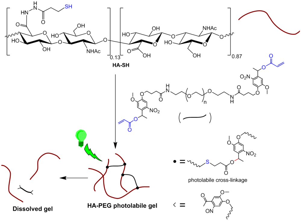 medium resolution of figure 1 formation and photo cleavage of ha peg based hydrogel