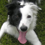 Happy Border Collie