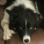border collie with small blaze