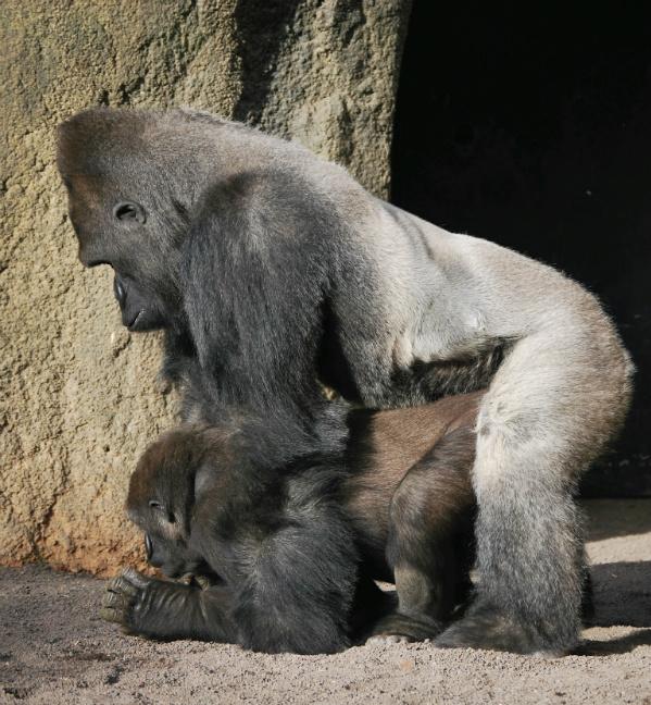 Gorilas - Bioparc Valencia
