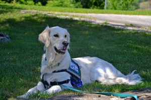 Service dog lying in the grass