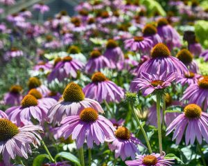 purple coneflowers photo