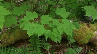 Mountain Maple (Acer spicatum)