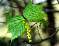 Striped Maple in bloom
