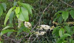 Wild Black Cherry (Prunus serotina) Blooms