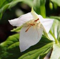 Sweet White Trillium (Trillium simile) and friend