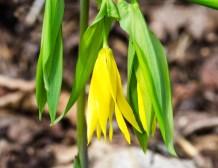 Large-flowered Bellwort (Uvalaria grandiflora