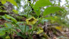 Virginia Ground Cherry (Physalis virginiana)