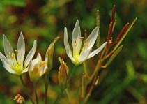 Wild Garlic (Allium canadense)