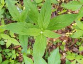 Possibly Star chickweed (Stellaria pubera),