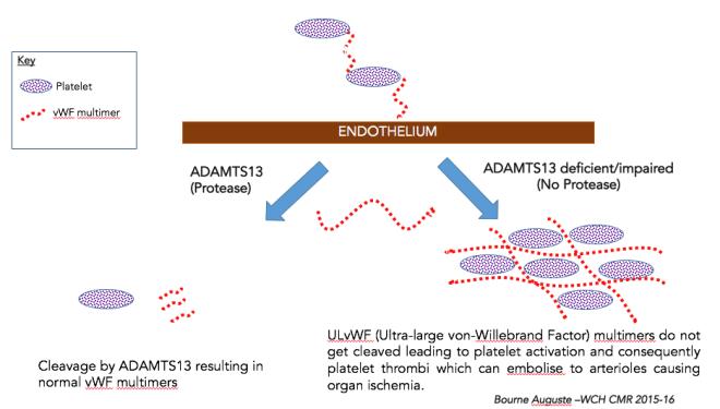 Schematic Simplification of Pathophysiology highlighting TTP.
