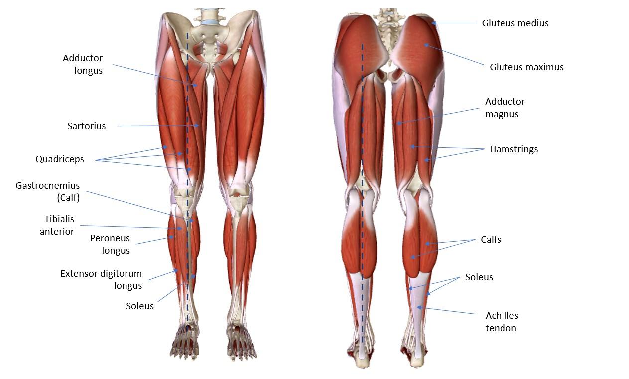 medium resolution of lower body diagram
