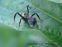 'Camponotus sericeiventris' (Hymenoptera: Formicidae)