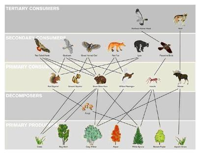 taiga food web diagram plant to label wonderful west wild wilderness a expresses the different feeding connections between organisms of an ecological community disturbance in can result drastic