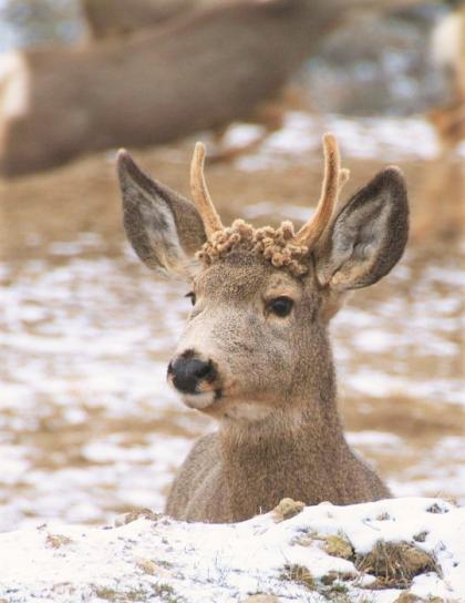 How Long Deer Pregnant : pregnant, Living, Wildlife:, Washington, Department, Wildlife