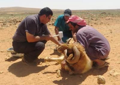 Livestock Development in Badia region