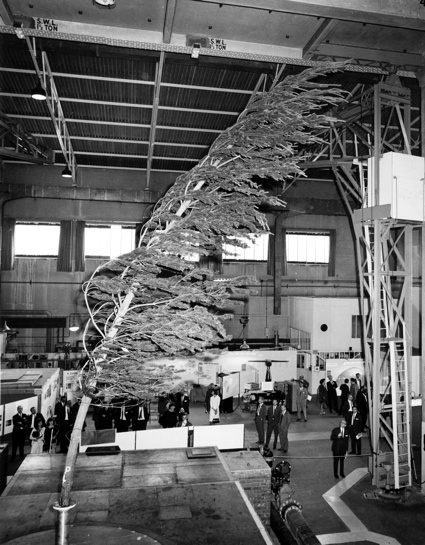 24ft Tree 1967 RAE Neg K7167F.jpg