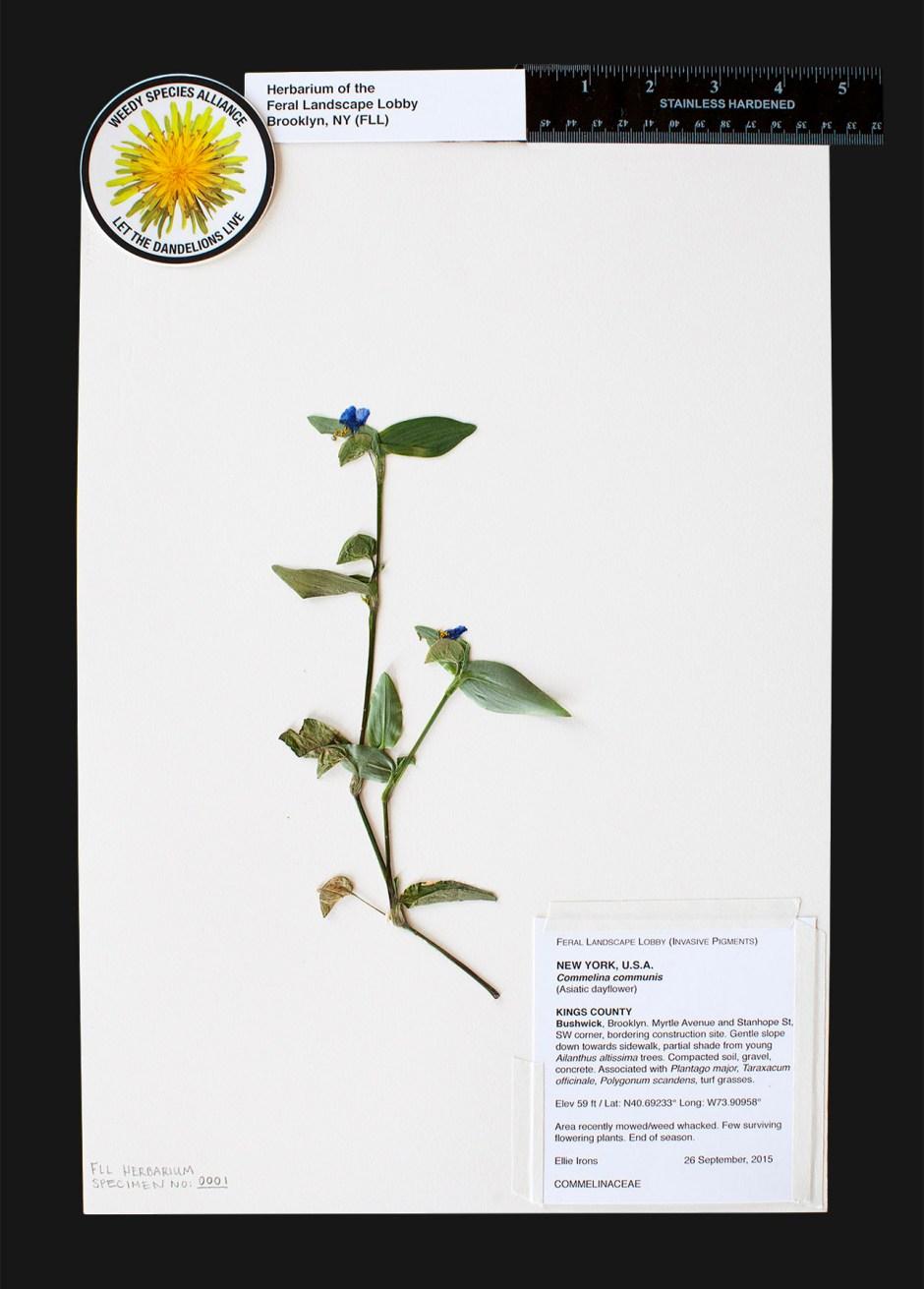 FLL-back-1-dayflower
