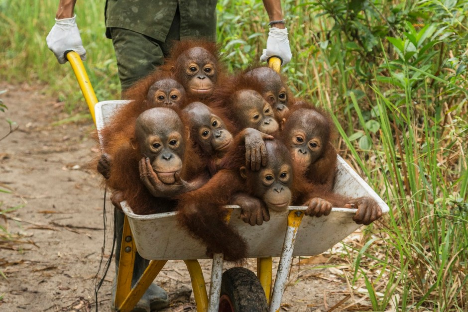 A keeper at IAR transports a group of juvenile orangutans by wheelbarrow to a patch of forest where they will learn skills for the wild International Animal Rescue (IAR)KetapangWest Kalimantan ProvinceIsland of BorneoIndonesia