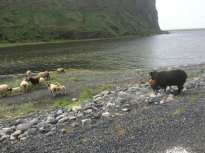 SHEEP (are all over in Iceland)