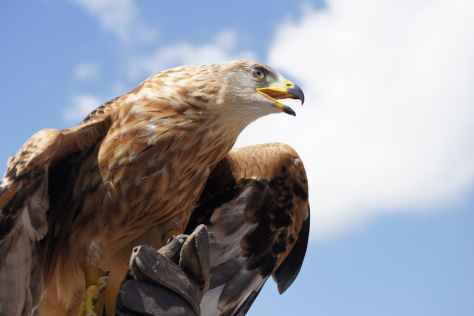 golden-eagle-animal-bird-bill