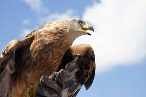 golden-eagle-animal-bird-bill