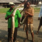 Much jubilation  as Residents in ATP Ajogodo, Sapele, Delta state killed 12-foot python that has been  terrorising them (Photo)