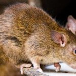 Lassa Fever : 3 Dead, While 292 on watch list, in Kano State