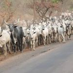 3 teenage Fulani herders Arrested for Gang-Raping a girl in Bauchi