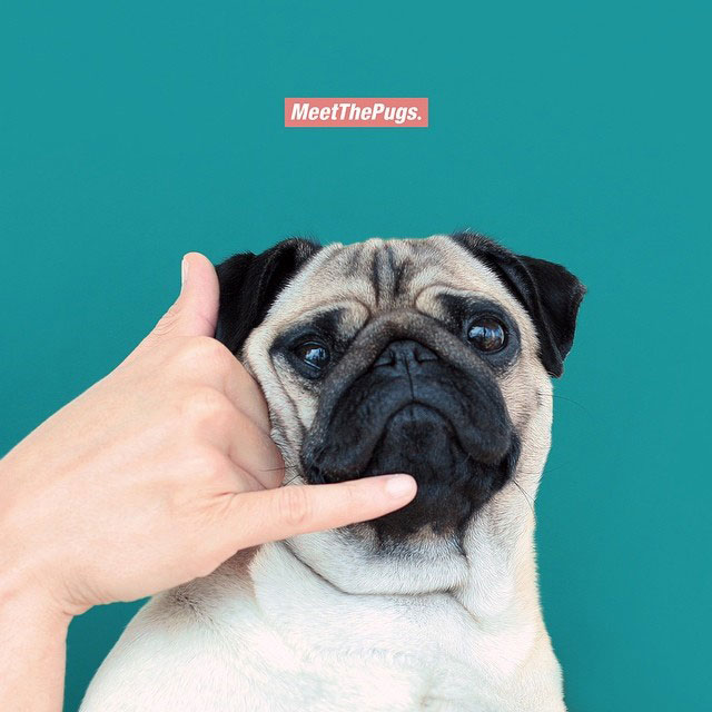Cute Puppy Live Wallpaper Loulou The Little Pug