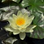 Водные растения в прудах