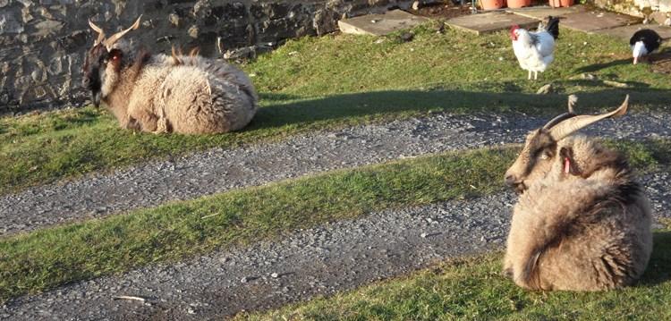 Rare breed sheep, Moss Moor, Cowshill (1)