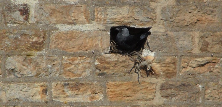 Jackdaw nesting in hole in wall, Wearhead Methodist Chapel (1)