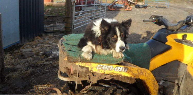 Old sheepdog, Well Hope, Cowshill (1)