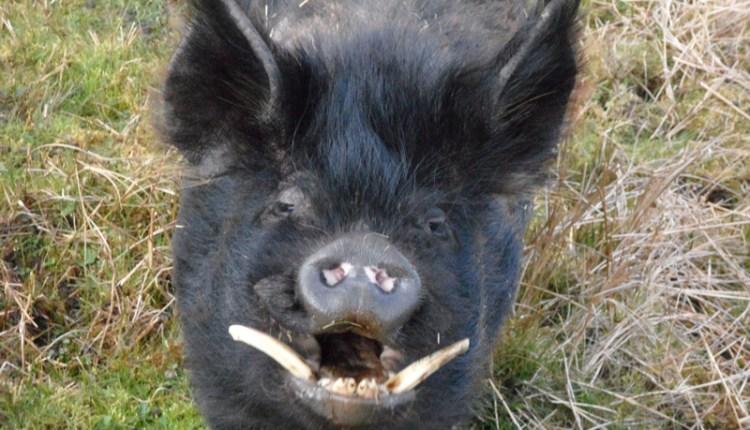Porker at Low Allers, Lanehead (1)